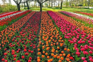Keukenhof, Holland's best tulips