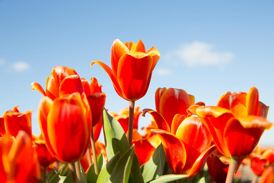 MyHiddenGems_Holland_Keukenhof_best_tulips_14