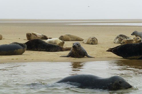 Blackeney Point seals Morston Norfolk